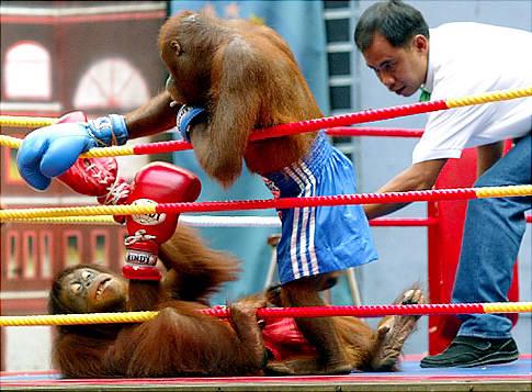 Orangutans act in kickboxing fights duri